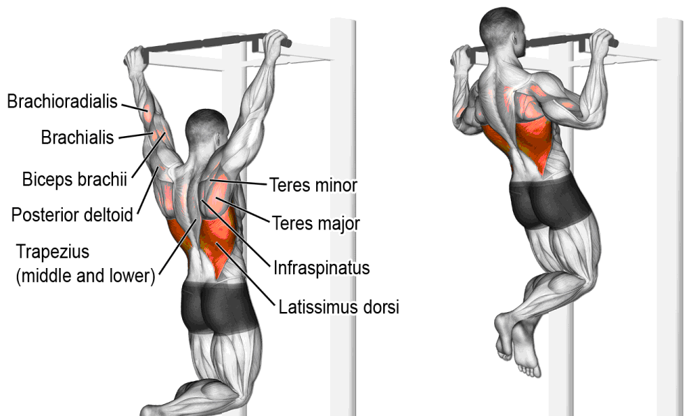 What Muscles Does Chin Ups Work On Health Living News Hub